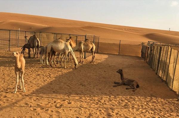 ドバイ「デザートサファリ」で、ラクダ農場を見学
