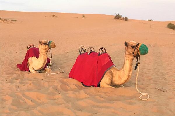ラクダ乗り体験「ドバイの砂漠ツアー」
